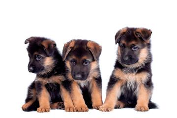 Three German shepherd puppies isolated on white background