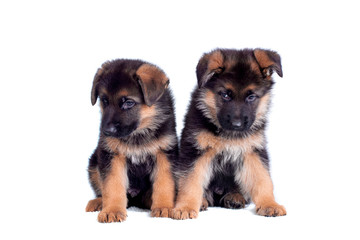 Two German shepherd puppies isolated on white background