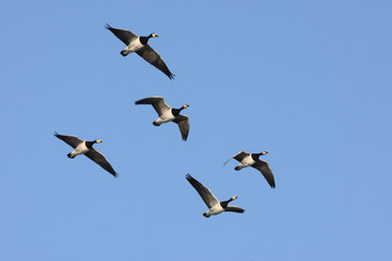 Fotoväggar - Barnacle goose, Branta leucopsis