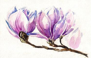 Fresh, pink, spring magnolia tree blossoms