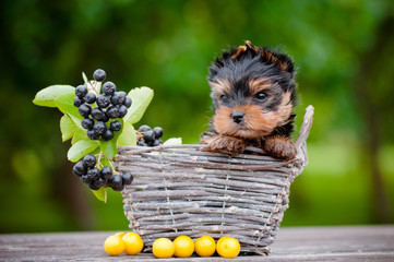 adorable yorkshire terrier puppy in a basket