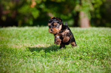 yorkshire terrier puppy outdoors