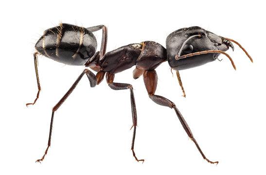 Carpenter Ant species camponotus vagus