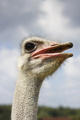 Ostrich head in the clouds