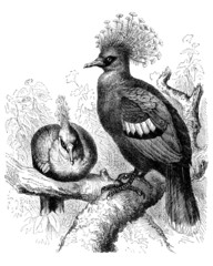 Bird : Crowned Pigeon - Pigeon Couronné