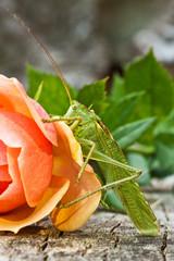 Grünes Heupferd auf einer Rose