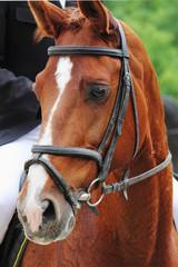 portrait of arabian stallion