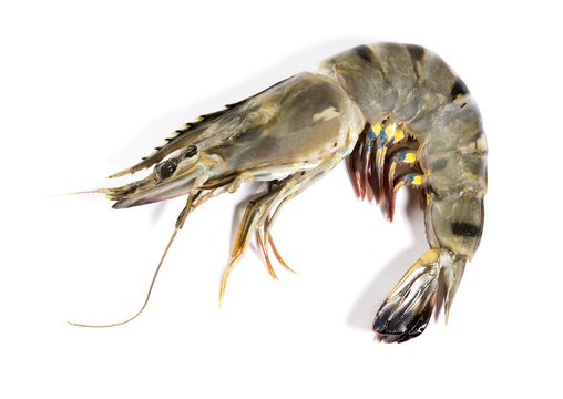 Raw black tiger shrimp on white background