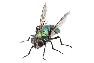 blow fly species Lucilia caesar Wall mural