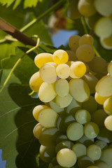 yellow lush grape on bush