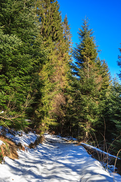 snow-covered pathway to coniferous forest on winter day