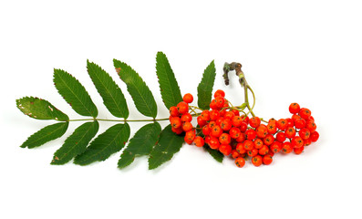 ripe rowan isolated on white