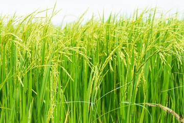Spike in rice field
