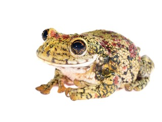 black-spotted tree frog Trachycephalus nigromaculatus