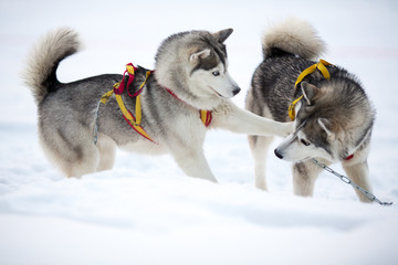 Papier Peint - Two playing siberian husky dogs outdoor