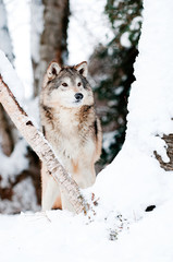 Wall Mural - Wolf in winter woods