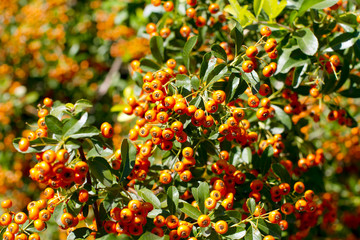 Autumn orange berries - Rutgers Pyracantha