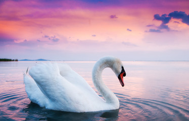Poster Cygne Beautiful white swans floating