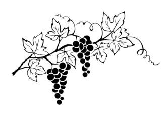Vector illustration -- grapevine Fototapete
