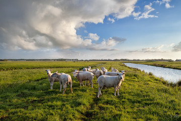 Wall Mural - sheep herd on pasture by river