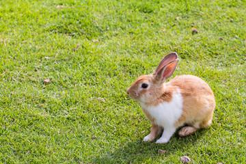 Little cute brown rabbit