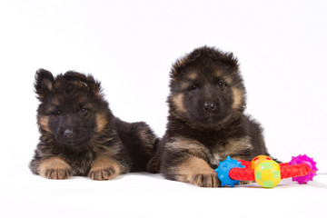 Two German shepherd puppies with toy