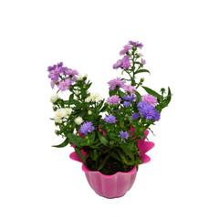 Astern im Blumentopf