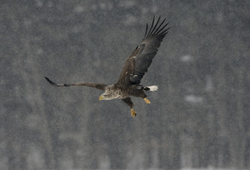Fotoväggar - White-tailed sea-eagle, Haliaeetus albicilla