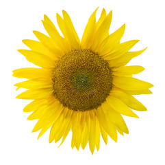 sunflower bloom isolated on white