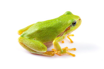 Green tree frog close up over white background