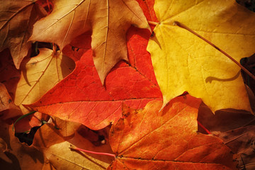 Wall Mural - Autumn leaves background, closeup