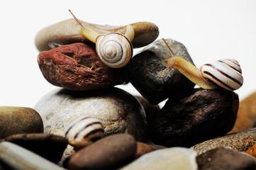 snails on rocks