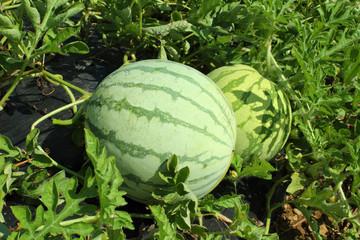 watermelon bulb in field