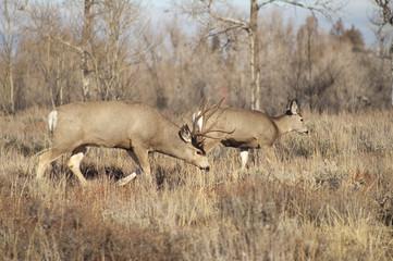 Mule Deer Buck Leading Female Family Winter Grassland Wildlife