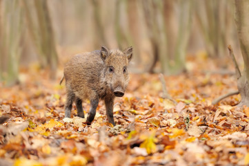 Wall Mural - Young wild boar in forest