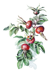 Watercolor Rosehips