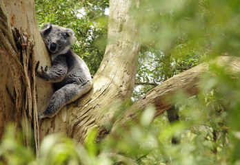 Papiers peints Koala Koala, Australien