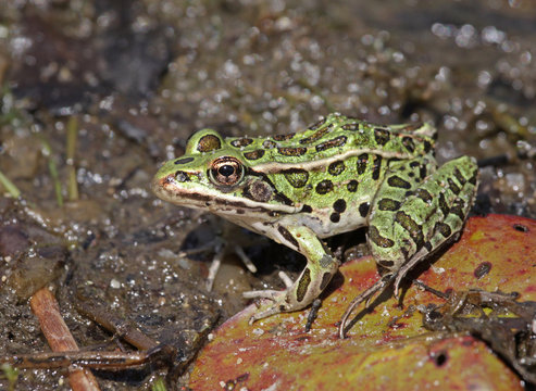 A Northern Leopard frogs (Lithobates pipiens) sitting at the edge of a lake.  Shot in Muskoka, Ontario, Canada..