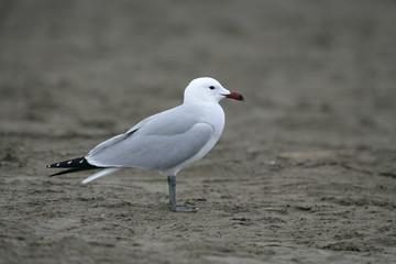 Audouins's gull Larus audouinii