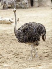 avestruz caminando
