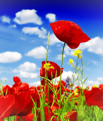 Wall Mural - beautiful red poppy