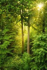 Wall Mural - Goldene Sonne leuchtet durch Bäume