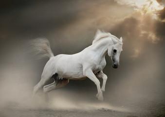 white arabian stallion in dust