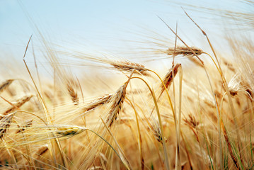 Grain field Wall mural