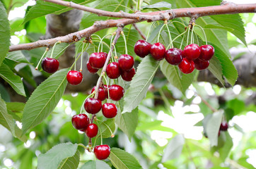 Fresh Cherries hang on tree