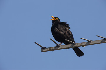 Fotoväggar - Blackbird Turdus merula