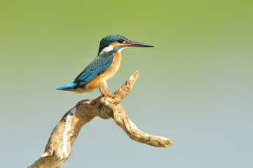 The Common Kingfisher (Alcedo atthis)