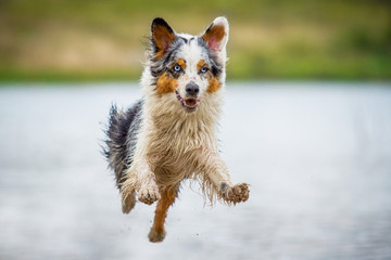 Australian Shepherd im Flug