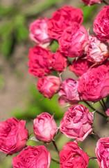 Flowers roses in the garden.