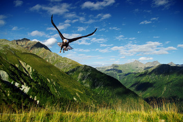 Wall Mural - eagle flying above the mountains